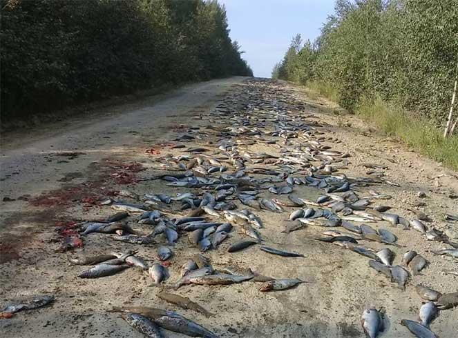 Ужином таежных мишек стала рыба из перевернутого грузовика